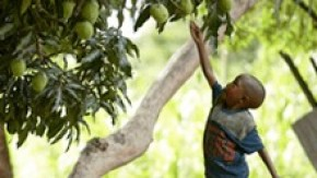 child reaching to pick a mango off a tree